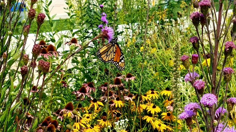 Monarch butterfly on purple liatris flower among other colorful wildflowers