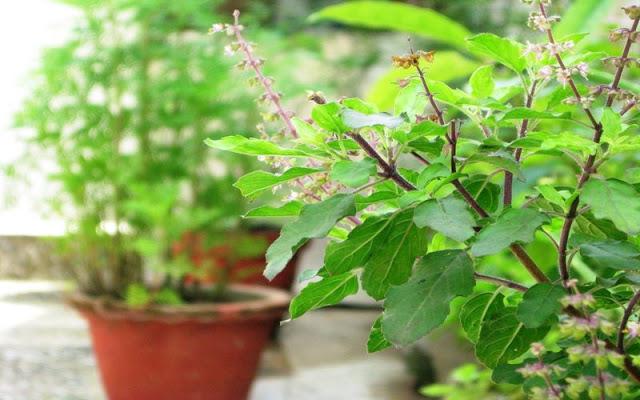 Tulsi The Queen of Herbs