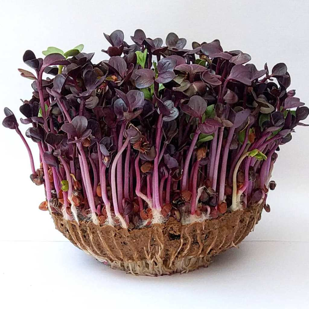 Microgreens Powerhouse of Nutrition-Purple radish Shoots