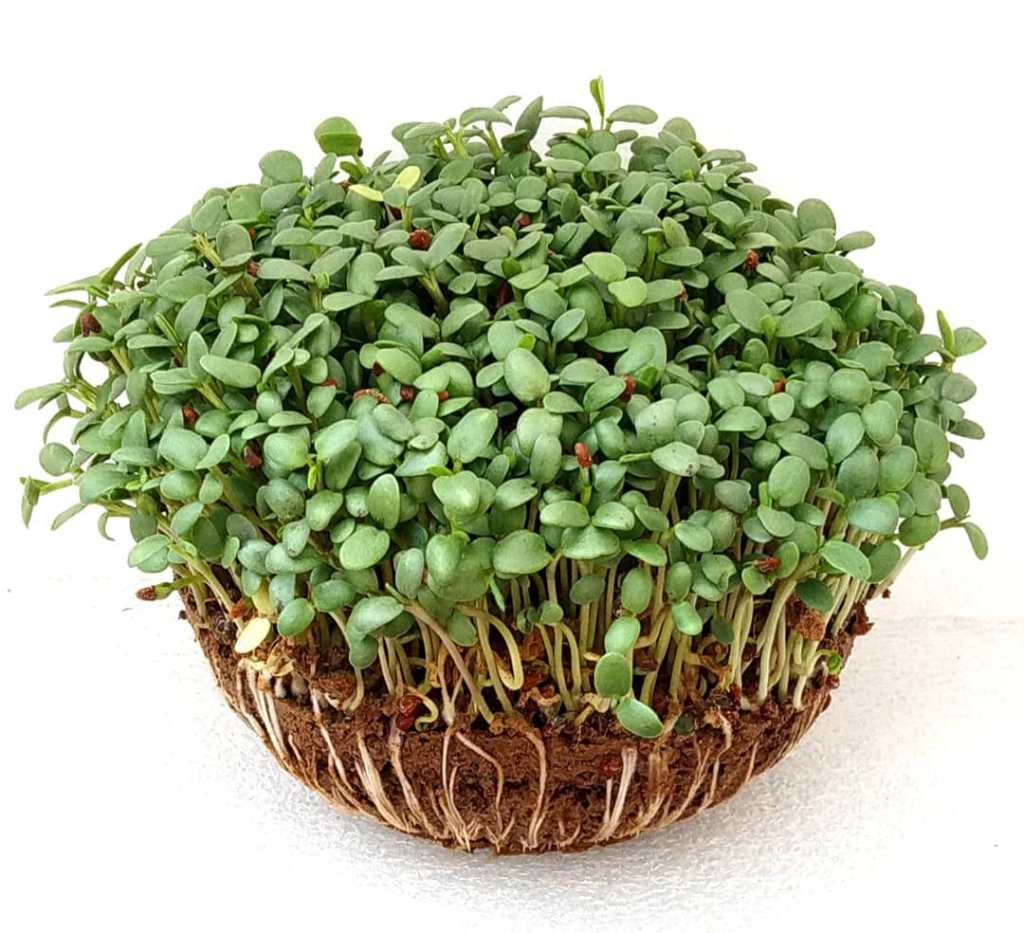 Microgreens Daily Dose of Nutrition-Clover Microgreens