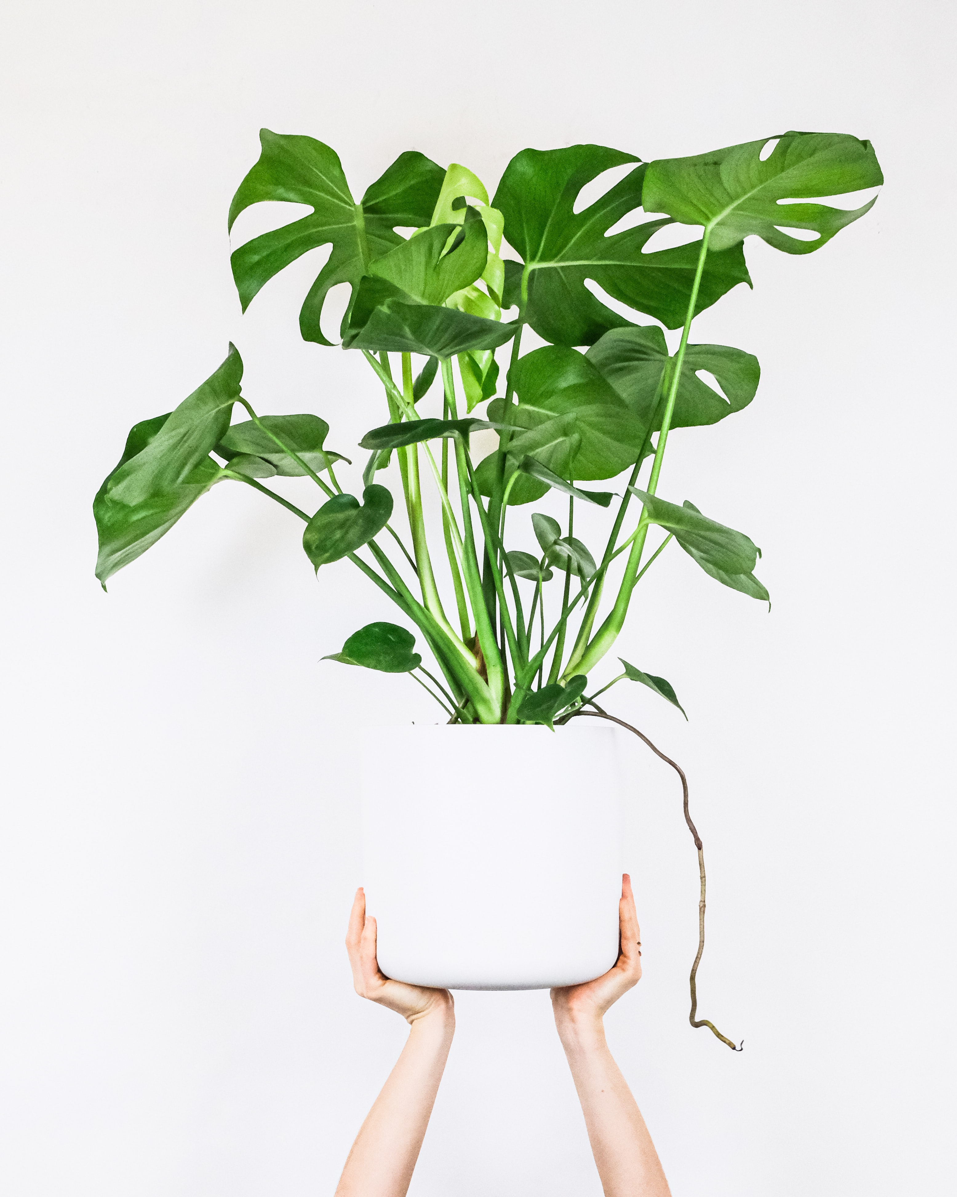 Monstera Deliciosa Houseplant is an Indoor Charm