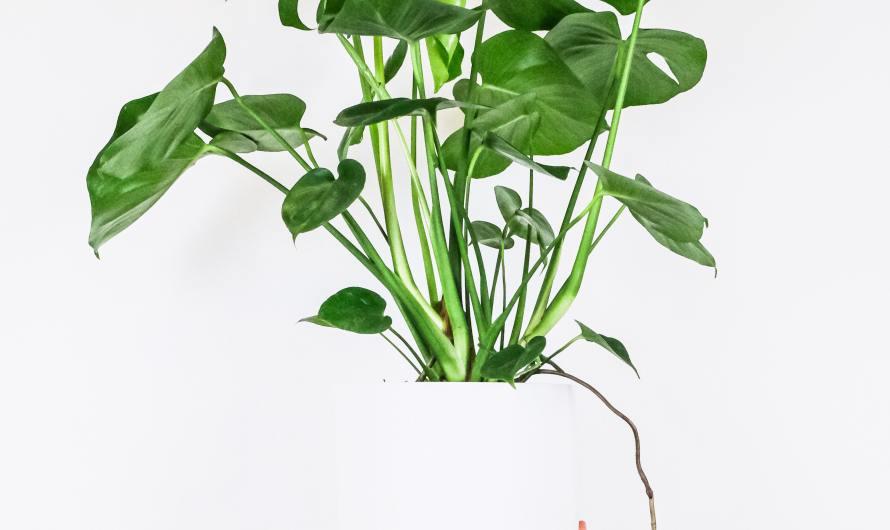 Monstera Deliciosa Houseplant- An Indoor Charm