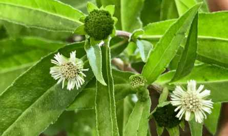 Bhringraj Ayurvedic Herb for the Hair