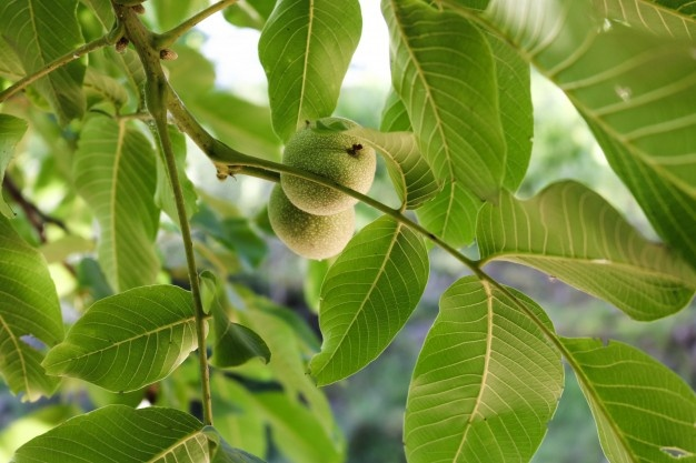 Benefits of guava leave -12 health benefits