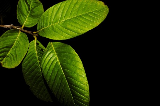 Benefits of guava leave