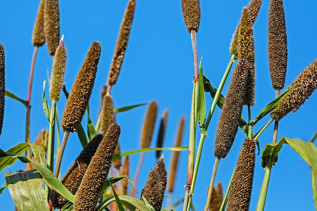health benefits of bajra/pearl millet -pearl millet
