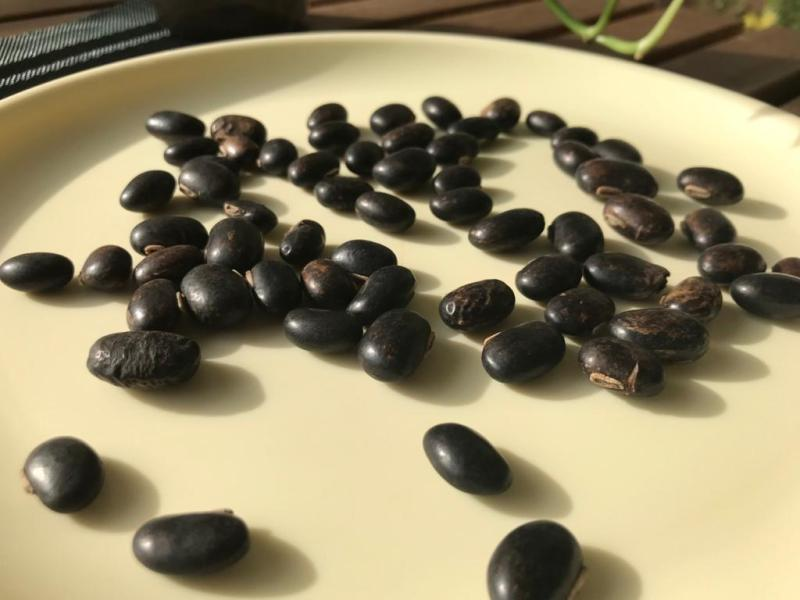 5 Health Benefits of Velvet bean or kaunch ke beej 3