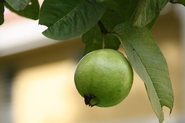 Indian diet for dialysis patients- eat guava