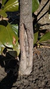 Magnolia Sunscald