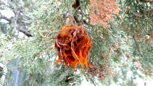 gymnosporangium rust