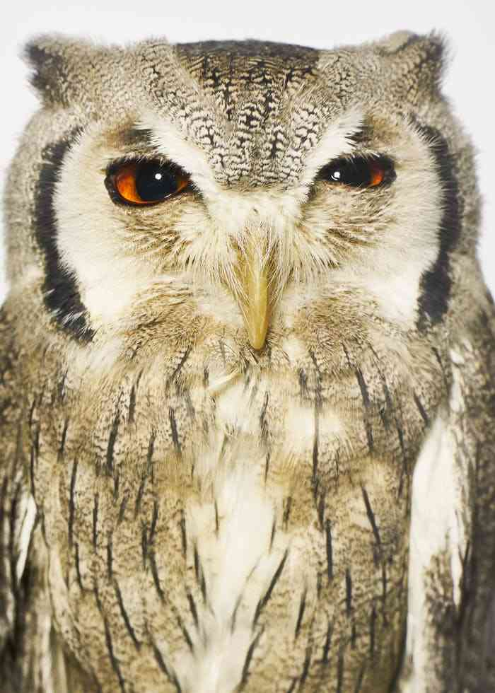 Kurt Cobain, a northern white-faced owl
