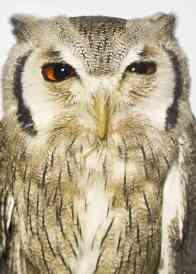 Kurt Cobain, a northern white-faced owl