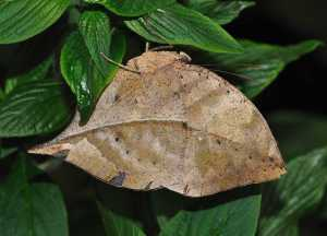 The dead leaf butterfly 🦋 🍂