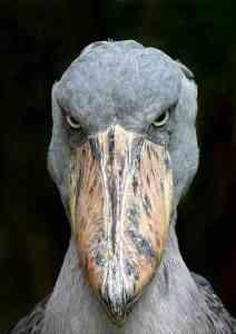 Meet the shoe-billed stork