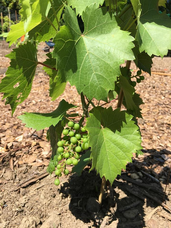 Grapes Starting to Grow