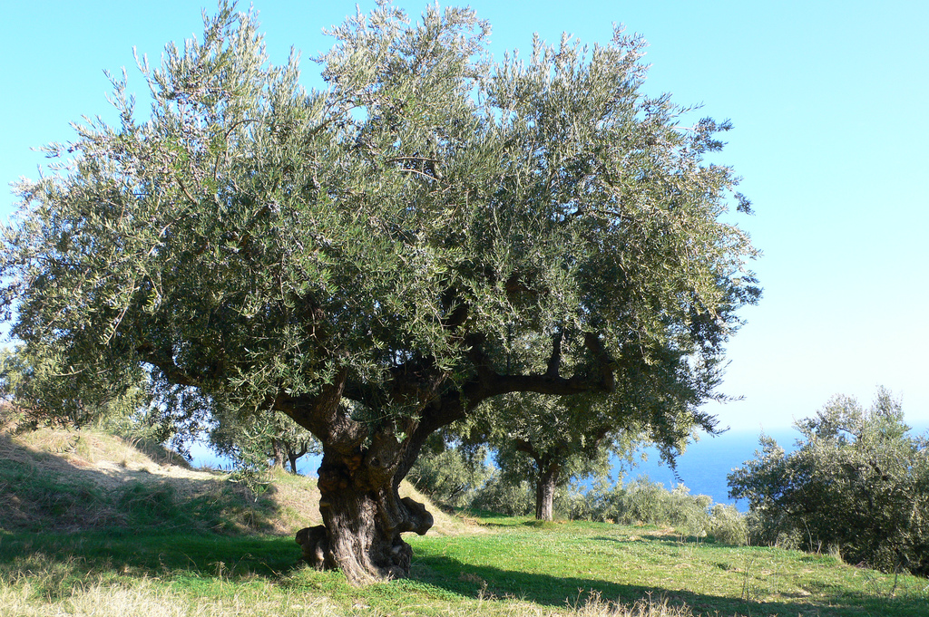 Heather Cowper Olive Tree Argassi