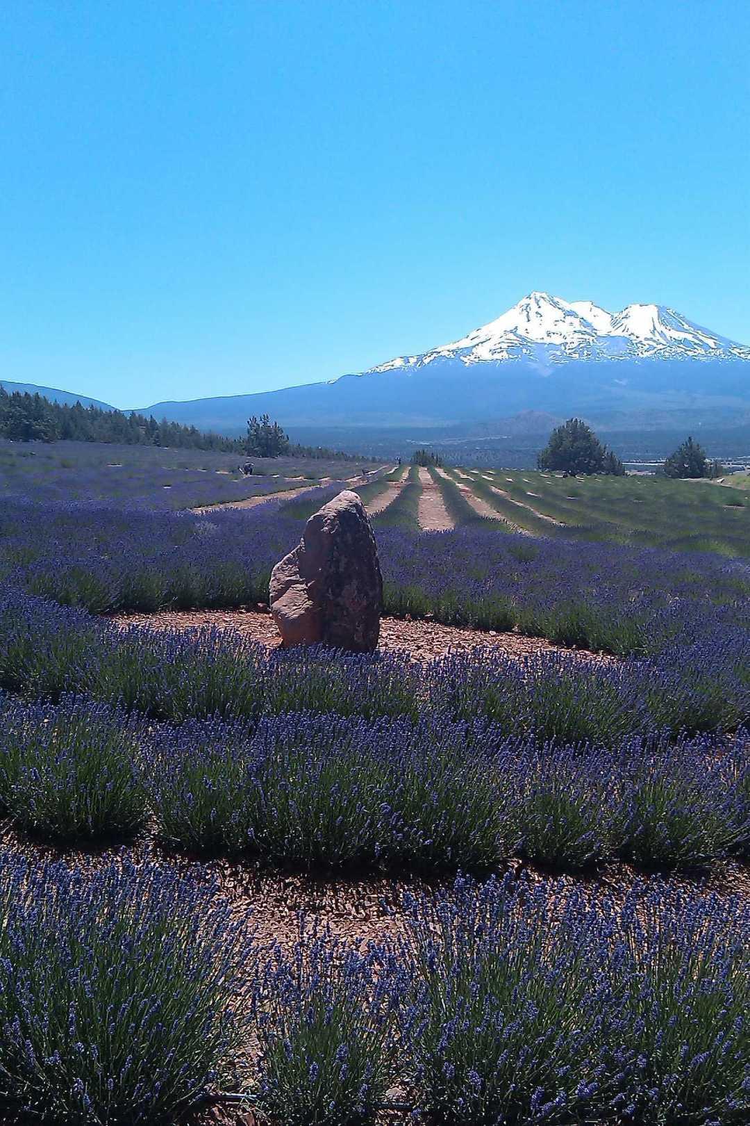 Mount Shasta Lavender Farm, JHD