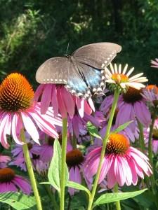 Butterfly on Purple Cone Flower (Echinacea), JHD