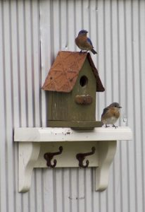 bluebirds greenhouse