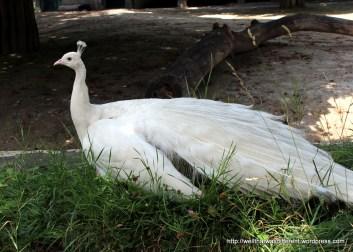 An albino peacock?