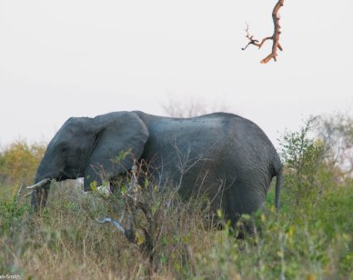 African Elephant in Kruger National Park. Image Jason Dutton-Smith