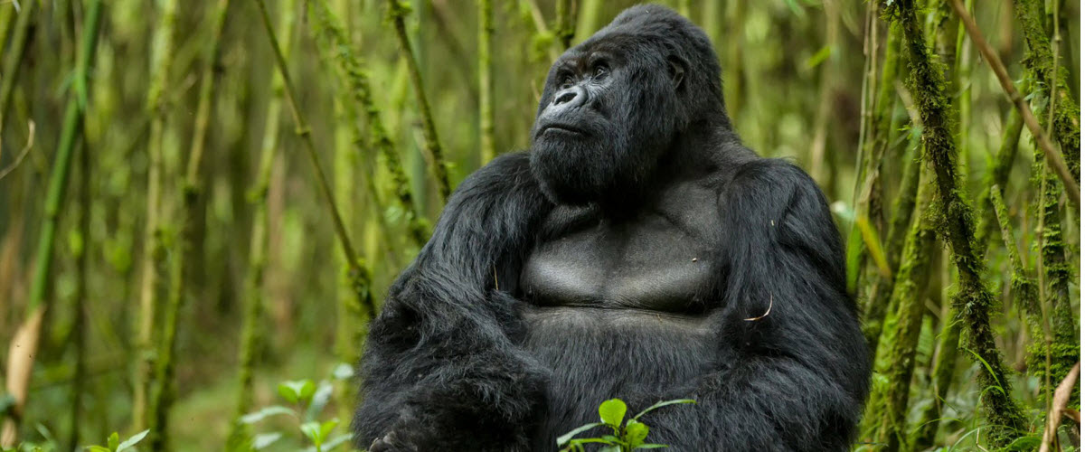 Rwanda - gorillas and rainforests