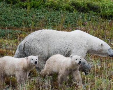 Mother polar bears with her cubs - Image Jason Dutton-Smith 800x600