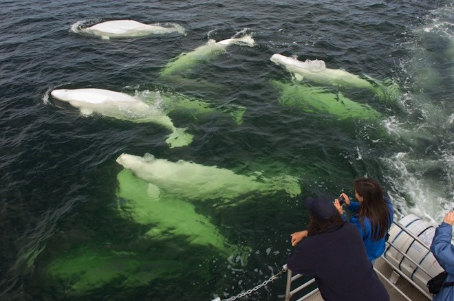 Beluga Whales of Churchill, Manitoba.