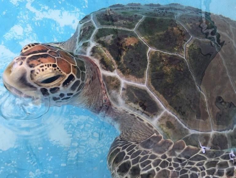 Jet the turtle at Cairns Turtle Rehabilitation Centre - Image Liz Bond 800x600