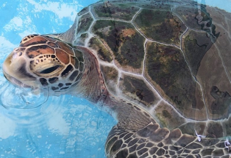 Jet the turtle at Cairns Turtle Rehabilitation Centre - Image Liz Bond 800x600