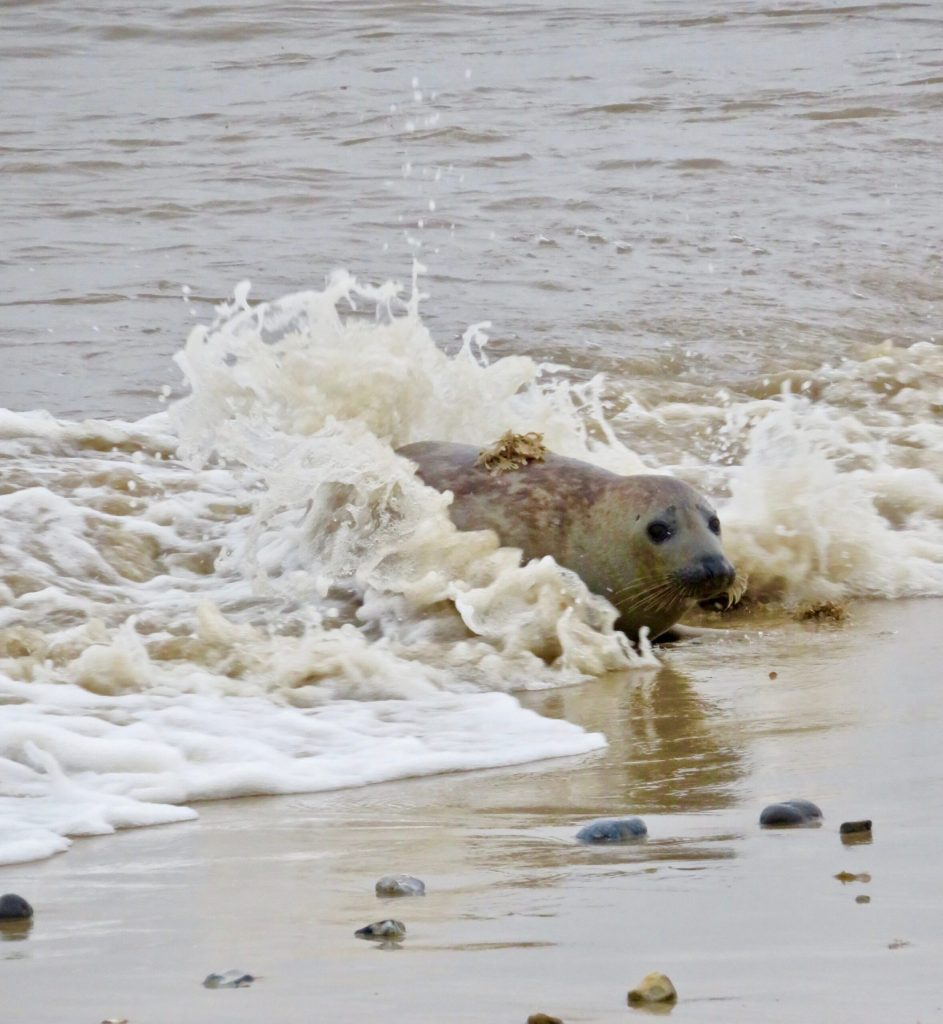 Seals at Horsey Gap in Norfolk