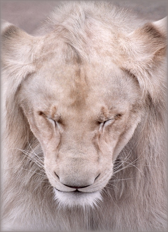 lion is the boss