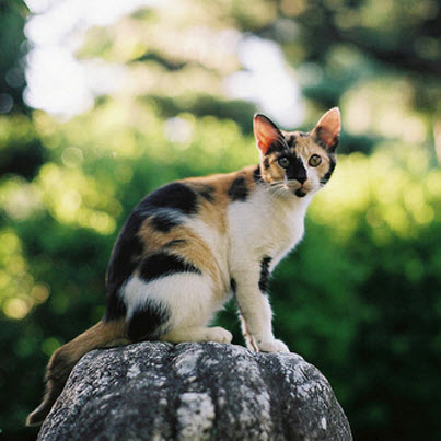 lovely calico cat