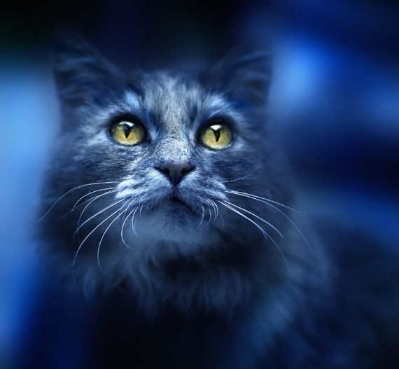 cat in blue