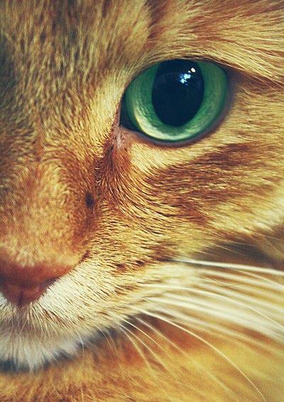 ginger eye cat