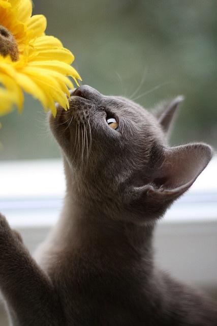 striking grey cat