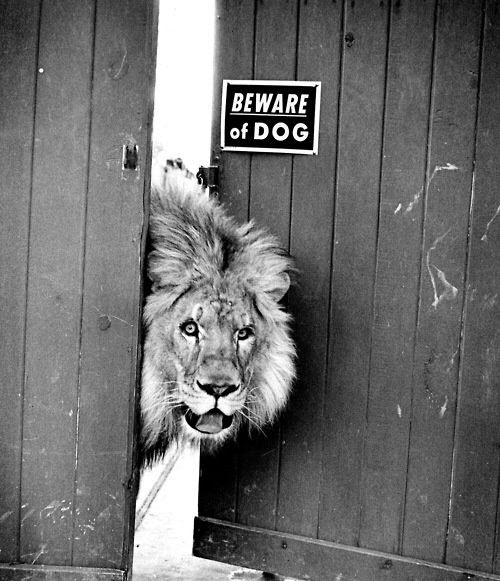beware of the lion