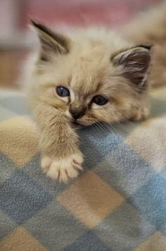 cute kitten check blanket