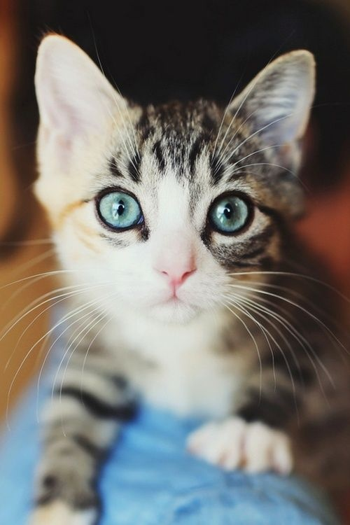 beautiful blue eye cat