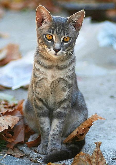 grey beauty amber eyes