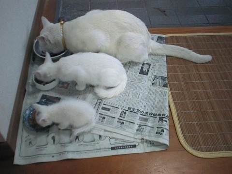 three white cats