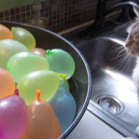 Munchkin Cat Pops Water Balloons!
