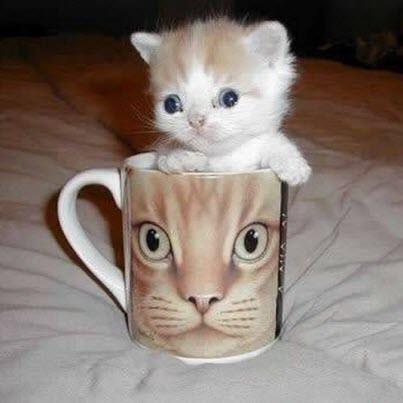 Kitten in a cat cup
