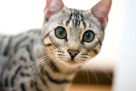 bengal cat stunning