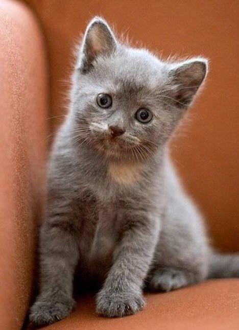 cute grey kitten 2