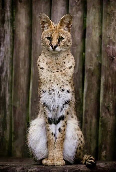 Beautiful Serval cat!