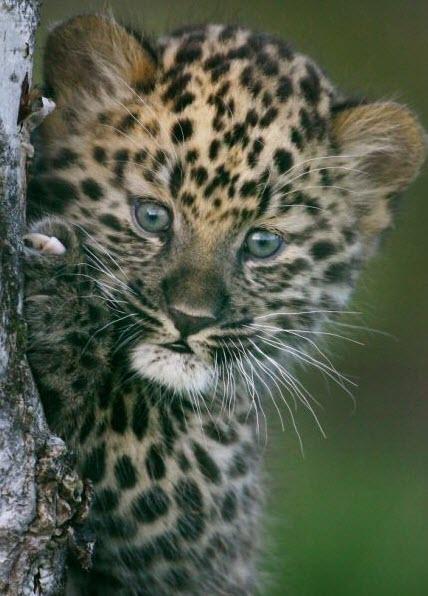 Rare Amur Leopard Cub