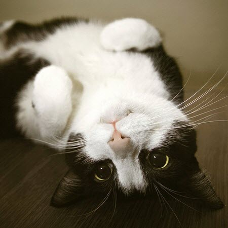 upside down black white cat