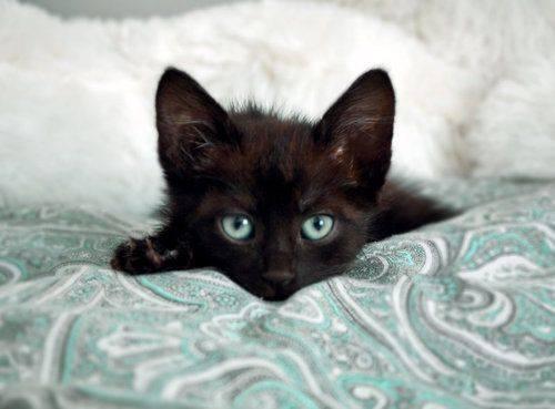black kitten on blue