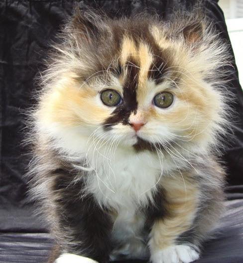 calico kitten 2